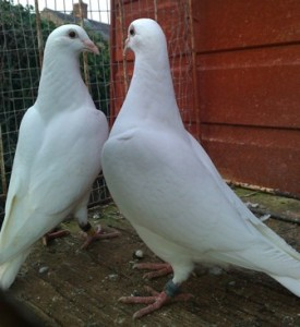 Pant and District Racing Pigeon Club