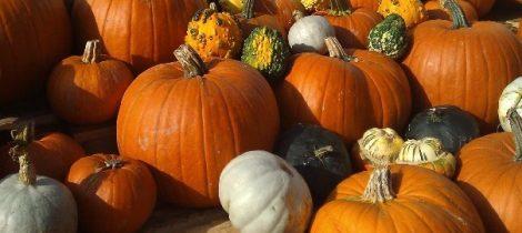 Pumpkins-at-Llynclys-farm
